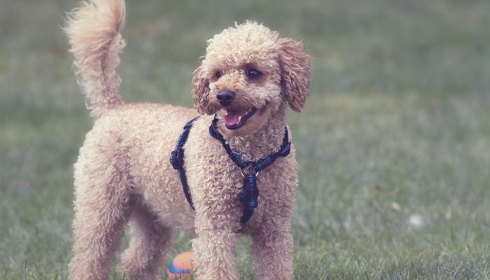 5 Best Poodle Mixes