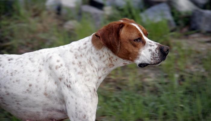 8 Best Hunting Dog Breeds