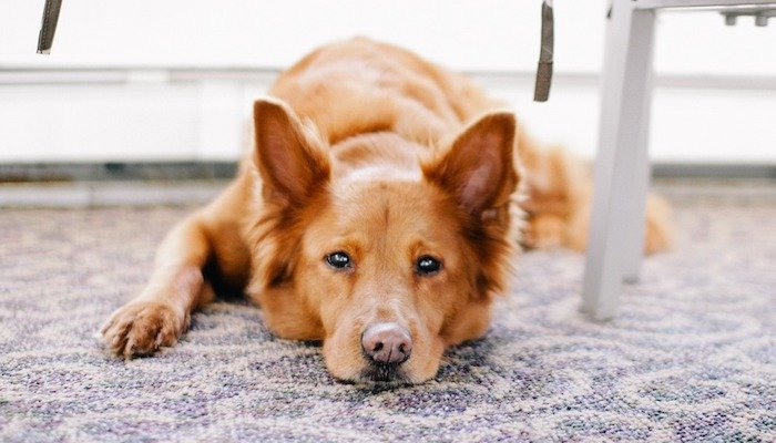 10 Best Carpet Cleaner Solutions For Pets in 2021
