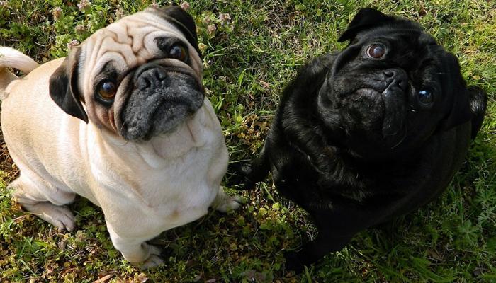 Black and Brown Pugs
