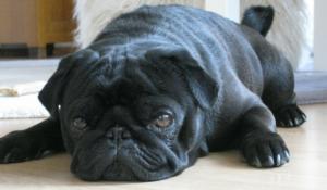 Black pug lying on the floor