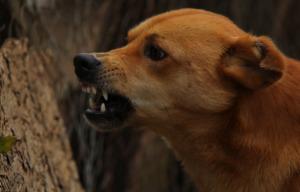 Brown dog angry