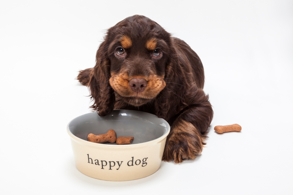 Cute Cocker Spaniel Puppy Dog Eating Biscuits in Bowl