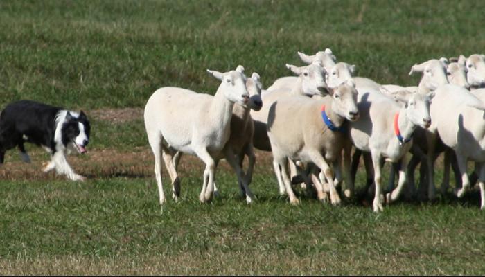 Sheepdog Trials: A Competitive Dog Sport