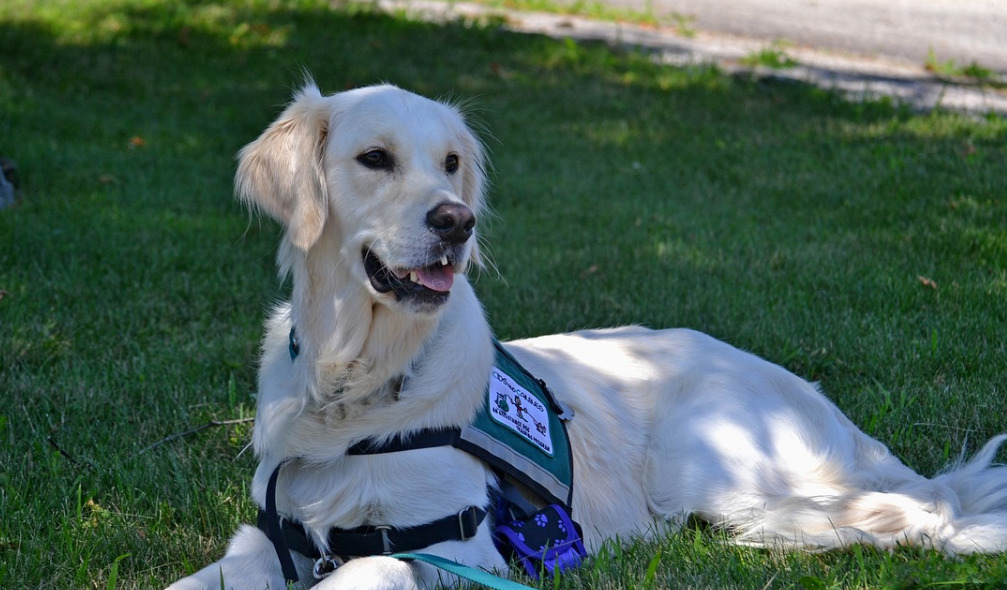 Golden Retriever Service Dog