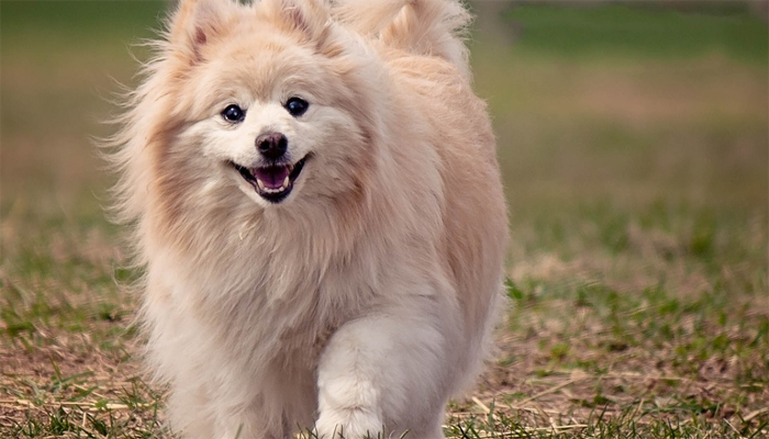 Where do Pomeranians Come From? A Full History of the Pom