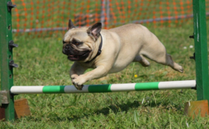 Pug jumping