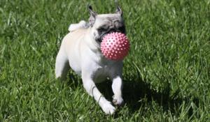 Pug playing ball