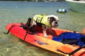 Pug wearing life jacket