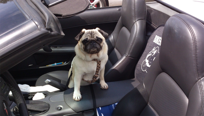 Getting Your Pug Through the Summer