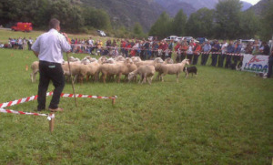 Sheepdog trials competition