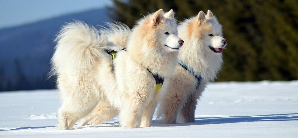 Different Breeds for Dog Sledding