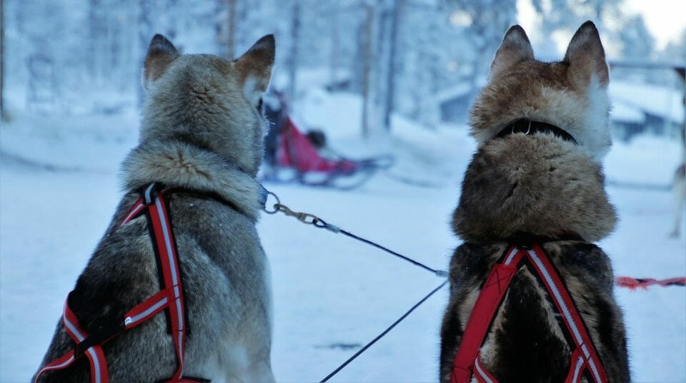 Huskies in Lappland