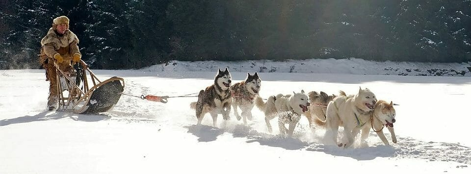 Man Mushing With Sled Dogs