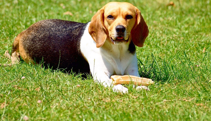 The Beagle: An Ultimate Guide