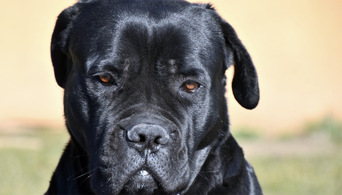 5 Interesting Facts About the Cane Corso