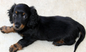 Black Dachshund dog