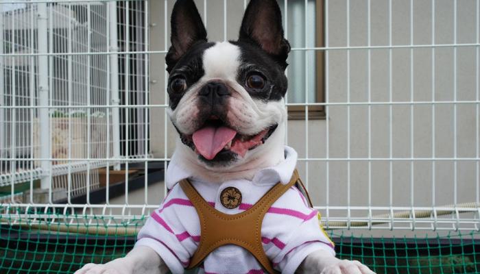 Best Harness for Boston Terrier in 2021