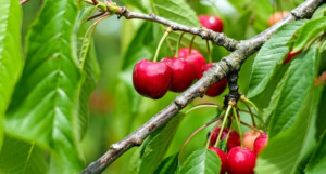 Cherry on a branch of tree