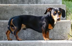 Dachshund on the stair