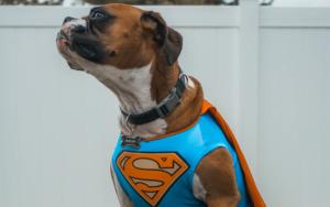 Dog with superman costume