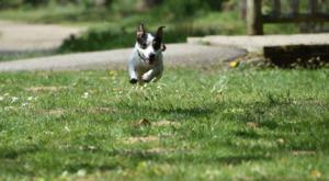 Jack Russell Dog Running