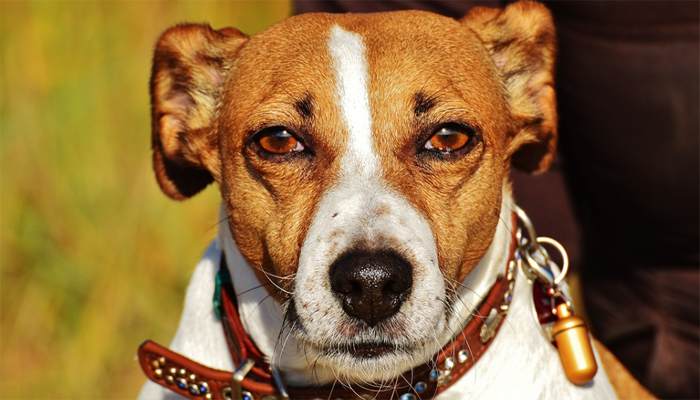 Caring for a Senior Jack Russell Terrier