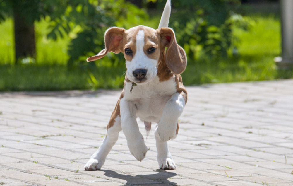 Puppy Beagle running