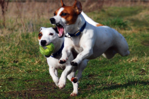 Two Jack Russell Dog playing ball