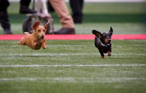Two dachshund racing