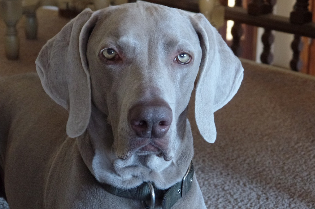 a greyhound's close-up photo