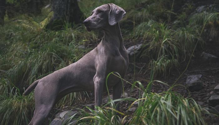 The Weimaraner: Breed Characteristics