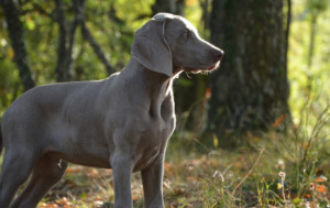 Weimaraner at the forest