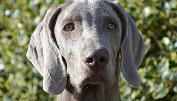 Weimaraner dog silver grey