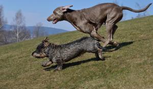 dachshund and Weimaraner running on the field