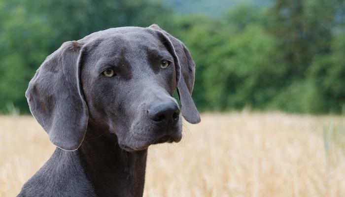 Best Food for Weimaraner Dogs