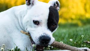 Dog biting a wood branch