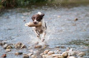 Dog running on the water field
