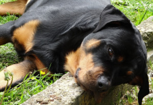 Adult Rottweiler dog resting