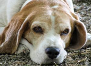 Beagle Dog Lying Down