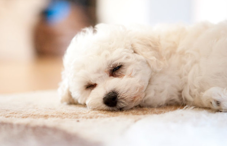 Bichon Frise Puppy sleeping