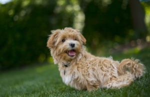 Brown Maltipoo Dog