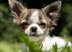 Chihuahua Puppe lying down