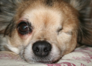 Chihuahua with one eye