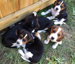 Five Beagle Puppies