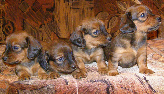Dachshund Puppies for Sale (Buyers Guide)
