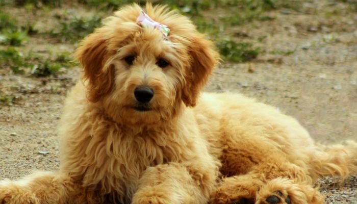 Goldendoodles: Full Guide