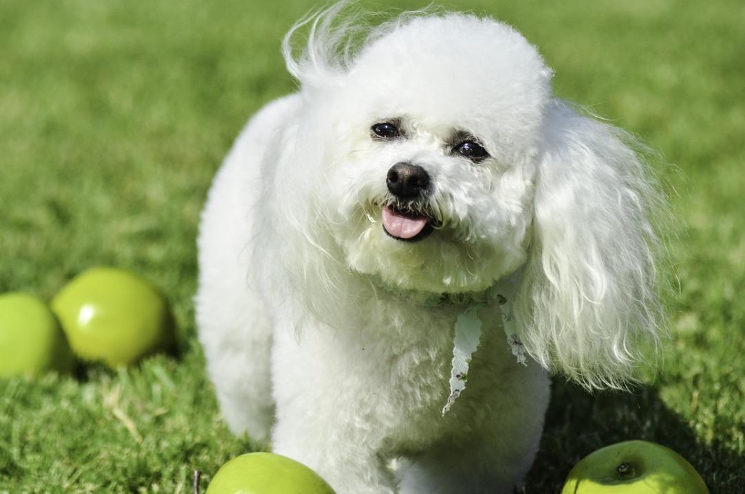 Long haired Bichon Frise dog