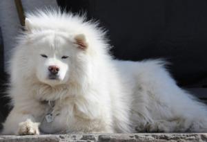 Old Samoyed dog