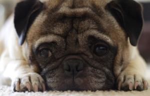 Pug Puppy Lying Down